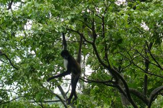 Spider monkey, Nature Reserve, Panajanchel