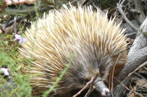 Long Nosed Echidna
